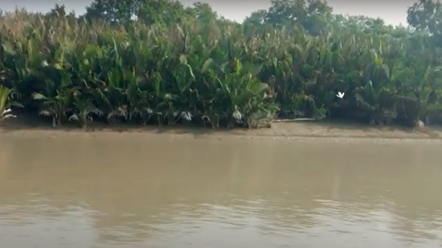 বাঘের প্রিয় সুন্দরবনের কটকা টাইগার টিলা